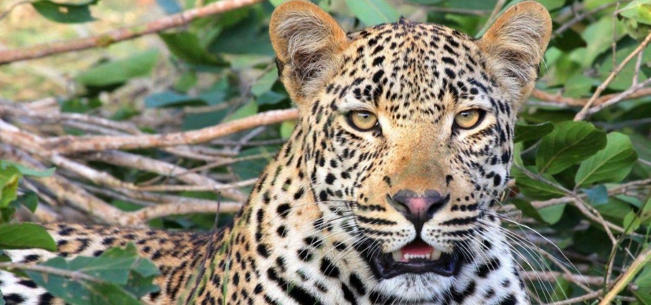 leopard_big5